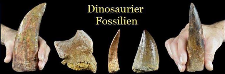 Dinosaurier Fossilien zum Kaufen